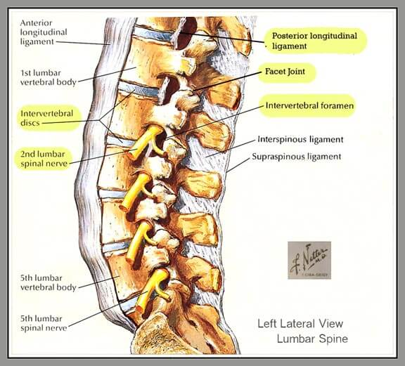 Legamenti longitudinali